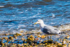 Fall 2017-127.jpg (jbernstein899) Tags: backyardandneighborhood coldspringharbor birds gulls