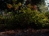 _MG_2931.CR2 (jalexartis) Tags: autumn autumncolor fall pinestraw azalea azaleas shrubbery shrub lighting camranger