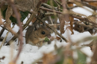 Wood Mouse-4237
