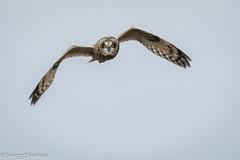 Short Eared Owl (greggohanian) Tags: nature nikonnaturephotography birdinflight tamron150600mm nikond500 nikon owl raptor shortearedowl parkerriver massachusetts