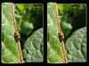 The Lonely Lady - Crosseye 3D (DarkOnus) Tags: pennsylvania buckscounty huawei mate8 cell phone 3d stereogram stereography stereo darkonus closeup macro ladybird ladybug lonely crossview crosseye