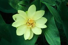 Nelumbo lutea - Nelumbonaceae (Kerry D Woods) Tags: nelumbo lutea nelumbonaceae