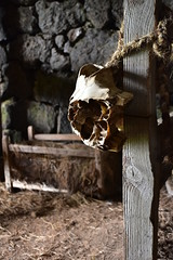 Skull Lashed to Post 2 (Amaury Laporte) Tags: europe iceland skogar folkmuseum traditional history