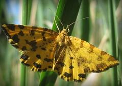 Pseudopanthera macularia (Gansucha) Tags: pseudopanthera geometridae lepidoptera explore