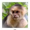 Singe Capucin à tête blanche (gilbert.calatayud) Tags: singe capucin à tête blanche cebus capucinus sapajou moine cébidés costarica amérique centrale mammifère