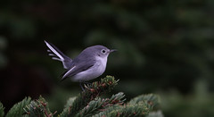 Blue-grey Gnatcatcher (kearneyjoe) Tags: bluegrey gnatcatcher
