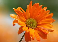 Somehow the sunshine... (12bluros) Tags: flower flora floral orange canonef100mmf28lmacroisusm