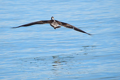 heading into the great unknown... (all one thing (off and on...)) Tags: wingwednesday brownpelican pelican fly wings blue gulfofmexico hww bird headingintothegreatunknown