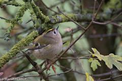 roitelet 051117  1.jpg (martin remigy) Tags: oiseau passereau roitelet faune