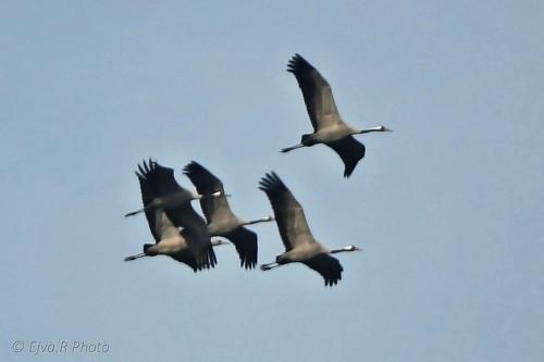 Cranes (bird) /Darvak