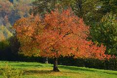 Herbst (andreas.thomet) Tags: kirschen