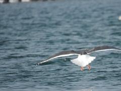 Slaty-backed Gull (Ben_The_Hen) Tags: bird birding birdwatching wisconsin rare rba seagull gull water lake bensanders 121017