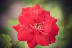 Beautiful red vibrant rose! (SHAN 1973) Tags: rose red vibrant beautiful 70mm300mmnikkor nikon garden d5300
