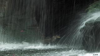 Heron in the Falls - Ka'anapali, Maui