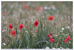 Lest we forget (theimagebusiness) Tags: theimagebusiness theimagebusinesscouk photography scotland field tribute wwi flanders war lestweforget poppies sacrifice military