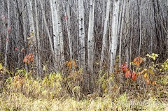 Late Fall Splendour (Rob Huntley Photography - Ottawa, Ontario, Canada) Tags: deepriver ontario autumn autumncolour autumnleaves birchtrees birches fall fallleaves lateautumn latefall photo photograph photography forest woods supershot