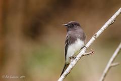 Black Phoebe (Bob Gunderson) Tags: birds blackphoebe california empidonaxflycatchers flycatchers goldengatepark lloydlake northerncalifornia sanfrancisco sayornisnigricans