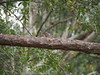 PA080496 (Matt Lancashire) Tags: usa southcarolina wadmalawisland charleston teaplantation bluebird easternbluebird sialiasialis