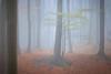 4038 (gcu_sketcher) Tags: xt1 xf1655 autumn fog forest morning dawn daybreak woods woodland trees somerset november
