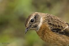 _DSC9422 (Carlos Tena) Tags: aves común tarabilla saxicola rubicola mairenadelalcor