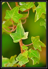 """Go Green..."" -- FLICKR FRIDAY 246 - 10th November 2017 (NikonShutterBug1) Tags: flickrfriday gogreen macro closeup nikond7100 nature spe smartphotoeditor ivy leaf foliage green tamron60mmmacro"