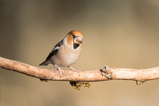 Grosbec casse-noyaux Coccothraustes coccothraustes - Hawfinch