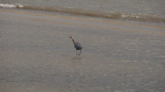 DSC04921 (Matthew283) Tags: bolvar wildlife 11182017 reddish egret