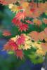 colorful (Shokosseite) Tags: tree autumn leaves ahorn