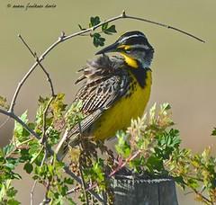 Eastern Meadowlark (c) 2016, Susan Faulkner Davis, all rights reserved.