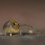 Garden springtail survey thumbnail