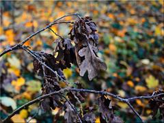 Autumn leaves (Ostseetroll) Tags: brodten brodtenersteilufer deu deutschland geo:lat=5398720930 geo:lon=1087540625 geotagged schleswigholstein herbst herbstfarben autumn autumnleafcolours
