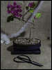 Bougainvillea (IAN GARDNER PHOTOGRAPHY) Tags: bonsai bonsaitree tree bougainvillea