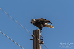 Passing traffic startles young Bald Eagle