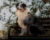 Contemplative (Jasper's Human) Tags: aussie australianshepherd riparianpreserveatwaterranch dog