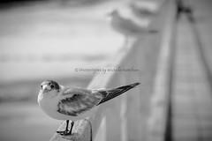 Bird and friends (Shutterbytes by Michele Hamilton) Tags: australia semaphore september2017 southaustralia birds coast feathers jetty ocean pier sea standing blackandwhite bw friends