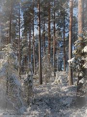 20171119003896 (koppomcolors) Tags: koppomcolors forest skog winter vinter värmland varmland sweden sverige scandinavia