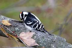 Male Downy Woodpecker (Anne Ahearne) Tags: bird birds nature wildlife animal downy woodpecker tree