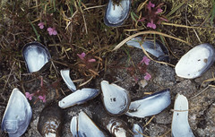 Mussels brought to lousewort by gulls. Connemara (Mary Gillham Archive Project) Tags: 17122 connemara countygalway ireland lousewort pedicularissylvatica planttree