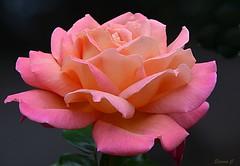 Weekend Rose (Eleanor (No multiple invites please)) Tags: rose pinkrose hollandpark london nikond7100 august2017 coth5