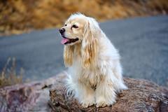 Piper (Chuckcars) Tags: colorado montrose usa piper maffei dog animal