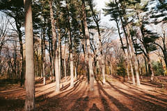 Forest Park Pine Grove (instagram.com/lanolan) Tags: 185mmf28 28mmequiv color day forest forestpark fujifilmx70 newyork newyorkcity newyorknewyork ny nyc outdoors outside queens shadow thebigapple trees
