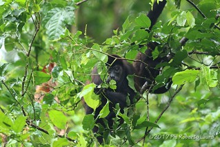 Howler monkey with puppy