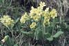 Primula elatior. Lush riverside. Rauris (Mary Gillham Archive Project) Tags: 1965 5238 april1965 austria oxlip planttree primulaelatior rauris