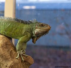 Leguaan (Kevin Boelhouwer) Tags: drachten naturij leguan leguaan reptiel reptile tamron g2 2470