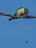 sacred kingfisher (Todiramphus sanctus)-5620 (rawshorty) Tags: rawshorty birds canberra australia act jerrabomberrawetlands