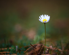 Daisies that bring you joy are better than roses that bring you sorrow. Matshona Dhliwayo (Lorrainemorris) Tags: 7rm2 sony7rm2 october fall colours nature marco flower daisy