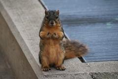 169/365/3456 (November 27, 2017) - Autumn Squirrels in Ann Arbor at the University of Michigan (November 27th, 2017) (cseeman) Tags: gobluesquirrels squirrels annarbor michigan animal campus universityofmichigan umsquirrels11272017 autumn fall eating peanut novemberumsquirrel umsquirrel 2017project365coreys yeartenproject365coreys project365 p365cs112017 356project2017 exploredcseeman