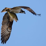 Osprey and prey thumbnail