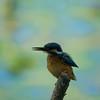 martin pescatore2 (delbio79) Tags: martinpescatore uccello uccellino avifauna fauna becco corpo ali occhio testa posato posatoio bird piccolo arruffato piume penne colori macchie azzurro puntini