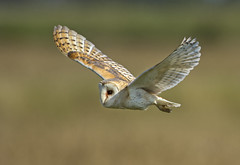 Barn Owl (wild) - I only have eyes for you! (Ann and Chris) Tags: bird avian amazing beak close eye feathers flying gorgeous gliding hovering hunting hunt nature outdoors owl barn barnowl predator raptor stunning very